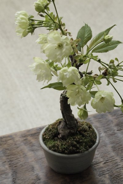 珍品! ウコン桜 ~小品盆栽・化粧鉢仕...