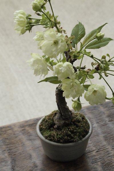 珍品! ウコン桜 ~小品盆栽・化粧鉢仕立て~
