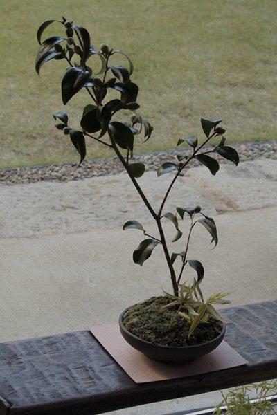 銘花・玉之浦椿の寄せ植え