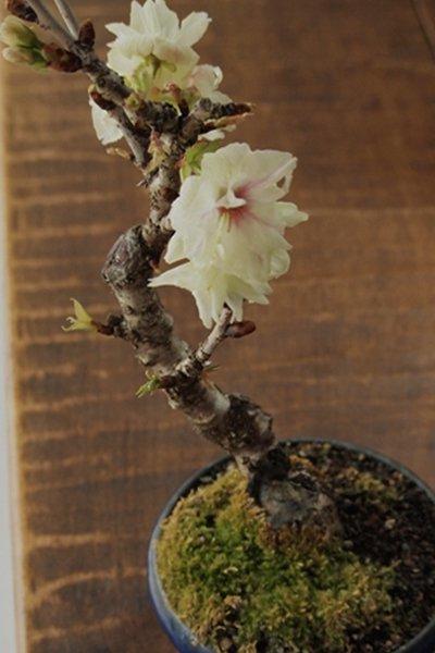珍品! 右近桜 化粧鉢仕立て