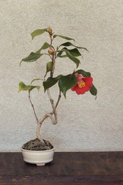 風情ある枝ぶり! 山椿の化粧鉢仕立て