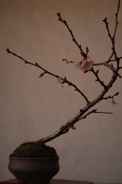 小品盆栽十月桜・備前鉢仕立て~