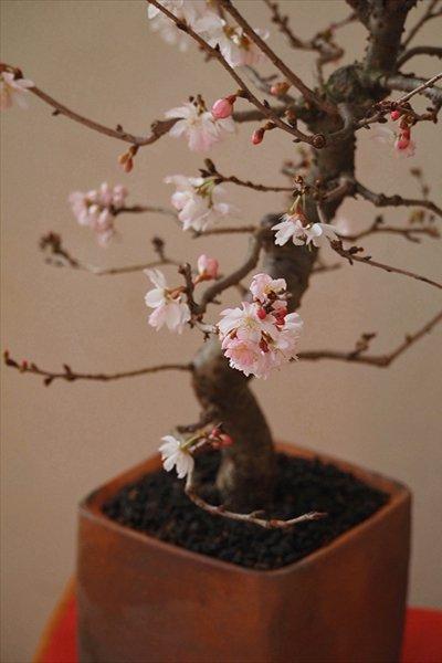 御祝や記念樹におすすめ!  十月桜・備前鉢仕立て~