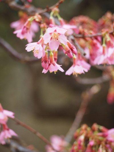 桜を愛でる ~珍品・濃紅富士桜 化粧栽仕立て~
