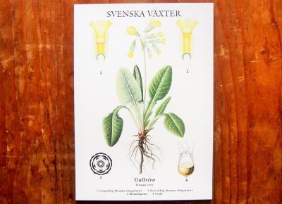 スウェーデンの植物カード Gullviva