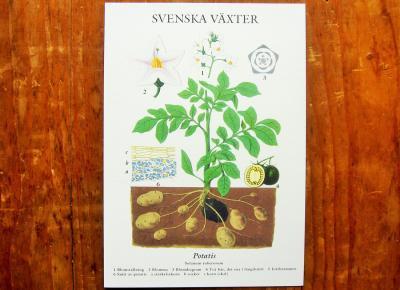 スウェーデンの植物カード potatis