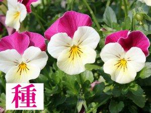 【種】 フェミニンドレス (フリルビオラ)