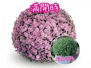 ガーデンマムの鉢植え