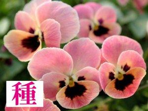 【種】 ピンクコアラ (ビオラ)