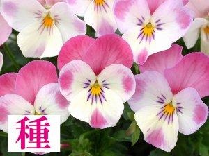 【種】 春の恋 (ビオラ)