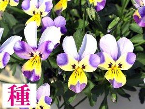 【種】 クリームソーダ (ビオラ)