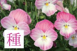 【種】 春るるる(ビオラ)