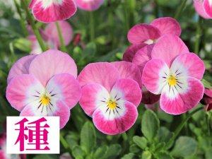 【種】 桜子日記(ビオラ)