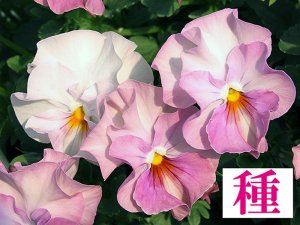 【種】 桃色レジーナ (ビオラ)