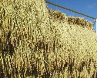 元年産天日干し特別栽培米コシヒカリ
